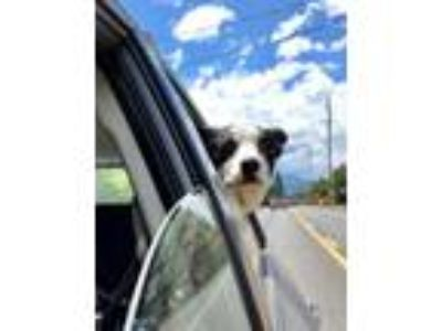 Adopt Snickers a Border Collie