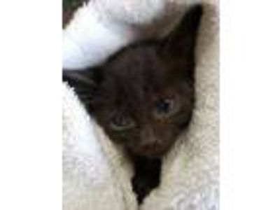 Adopt Minto a All Black Domestic Shorthair / Domestic Shorthair / Mixed cat in