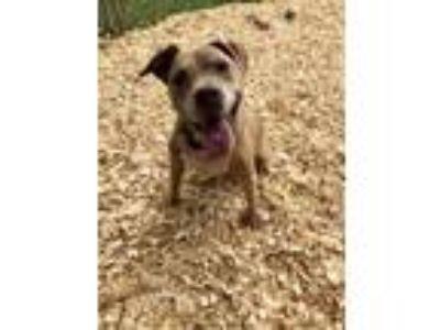 Adopt Harper a Pit Bull Terrier