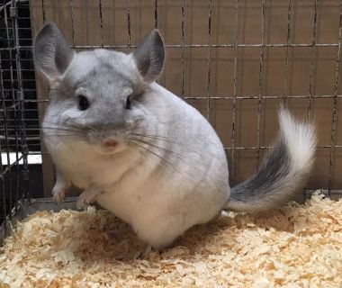 4.5 Month Old White Sapphire Male Chinchilla Kit (Baby)