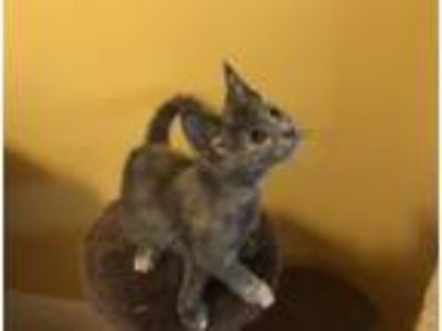 Adopt Birds of Play: Lark a Domestic Short Hair