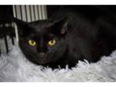Adopt Binx a All Black Domestic Shorthair / Mixed (short coat) cat in St.