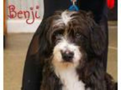 Adopt Benji a Border Collie, Wirehaired Terrier