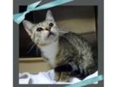 Adopt LACHLAN a Gray, Blue or Silver Tabby Domestic Shorthair (short coat) cat