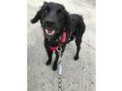 Adopt Annie Louise a Black - with White Spaniel (Unknown Type) / Mixed Breed