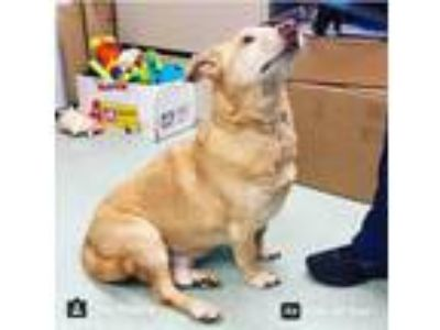 Adopt Laddie a Tan/Yellow/Fawn Corgi dog in Manhattan, NY (24598976)