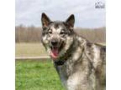 Adopt Balto a Black - with Gray or Silver Husky / Shepherd (Unknown Type) /