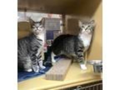 Adopt Ziti a Brown Tabby Domestic Mediumhair / Mixed (medium coat) cat in