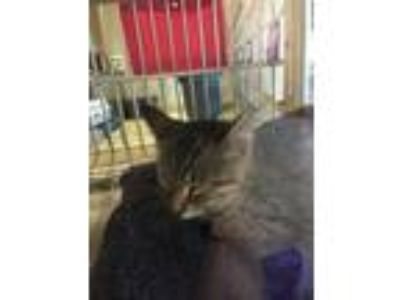 Adopt Melonie a Brown or Chocolate Domestic Shorthair / Domestic Shorthair /