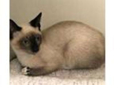 Adopt Oscar a Cream or Ivory Siamese / Domestic Shorthair / Mixed cat in