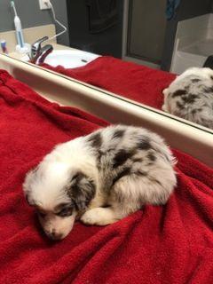 Australian Shepherd PUPPY FOR SALE ADN-91881 - Australian Shepherd  Puppies