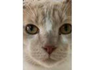 Adopt SCHNAPPS a Tan or Fawn Tabby Domestic Shorthair (medium coat) cat in
