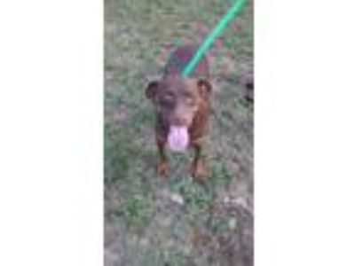 Adopt SPIDERMAN a Brown/Chocolate Pit Bull Terrier / Labrador Retriever / Mixed