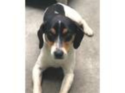 Adopt Smith a Beagle / Rat Terrier / Mixed dog in Novato, CA (25334027)