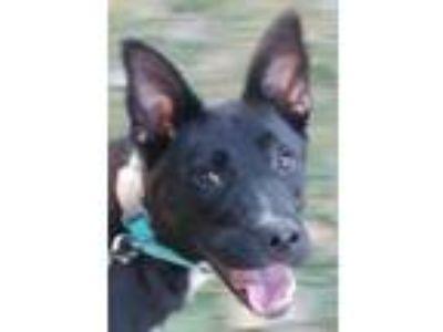 Adopt Major a Shepherd, Labrador Retriever