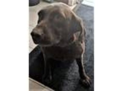 Adopt Selene (Downers Grove) a Labrador Retriever, Chocolate Labrador Retriever