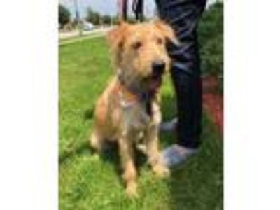 Adopt Angelita a Tan/Yellow/Fawn Terrier (Unknown Type, Medium) / Mixed dog in