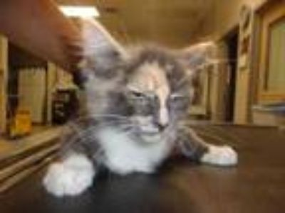 Adopt #2 a Gray or Blue Domestic Shorthair / Domestic Shorthair / Mixed (medium
