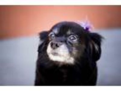 Adopt SELMA a Black - with White Pomeranian / Mixed dog in Los Angeles