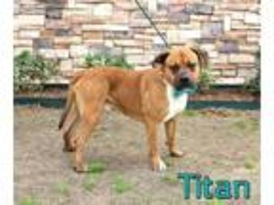 Adopt TITAN a Brown/Chocolate - with White American Pit Bull Terrier / Mixed dog
