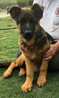 German Shepherd Dog PUPPY FOR SALE ADN-73308 - Puppies from Son of World Champion Sieger