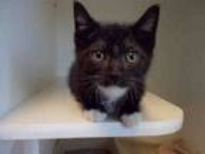 Adopt A020653 a Domestic Short Hair