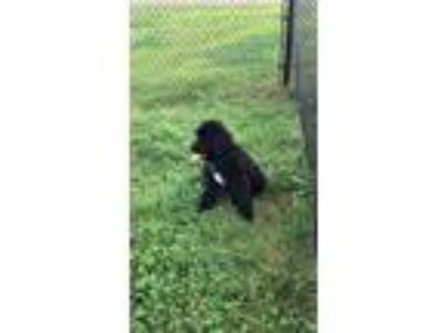 Adopt Onyx a Black Standard Poodle / Golden Retriever / Mixed dog in Ijamsville