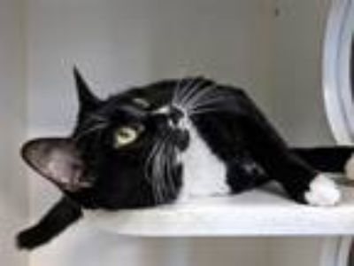 Adopt Molly a Domestic Shorthair / Mixed (short coat) cat in Staten Island