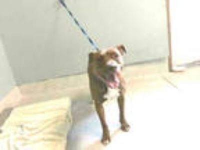 Adopt NALA a Brown/Chocolate - with White American Staffordshire Terrier / Mixed