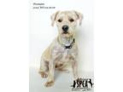 Adopt Tremain a Shih Tzu, Terrier