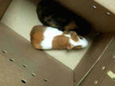 Adopt BEAR a Brown or Chocolate Guinea Pig / Mixed small animal in Tulsa
