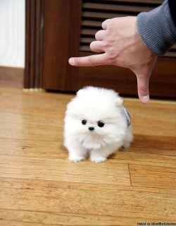 Healthy mini Pomeranian Puppies