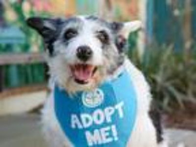 Adopt Jersey a Border Collie / Terrier (Unknown Type, Medium) / Mixed dog in