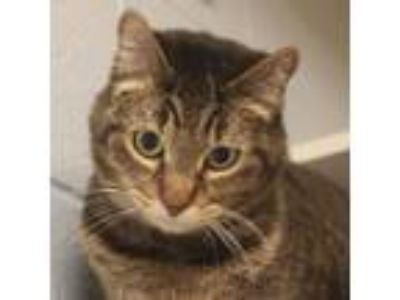 Adopt Appaloosa a Brown or Chocolate Domestic Shorthair / Mixed cat in