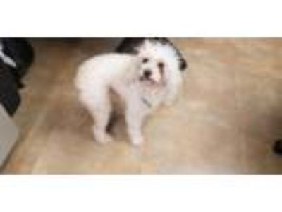 Adopt A2023728 a Poodle, Mixed Breed