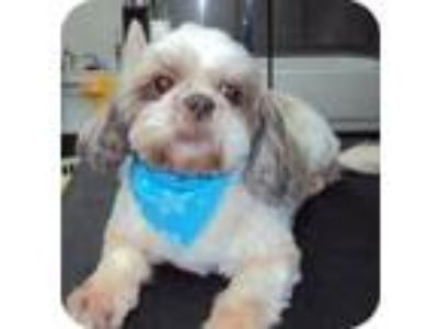 Adopt Chloie a White - with Tan, Yellow or Fawn Shih Tzu / Mixed dog in Homer
