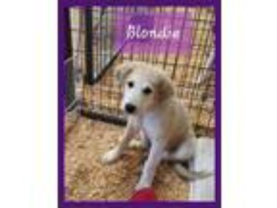 Adopt Blondie a Great Pyrenees / Mixed dog in Granbury, TX (25659830)