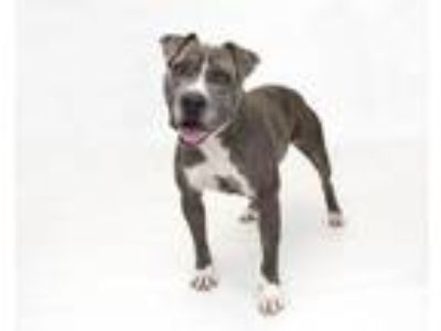 Adopt BABE a Pit Bull Terrier, Mixed Breed