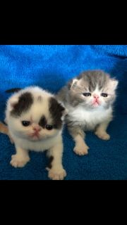 Exotic Shorthair Kittens CFA