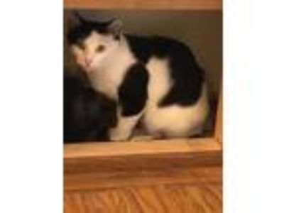 Adopt Apple a Black & White or Tuxedo Domestic Shorthair (medium coat) cat in
