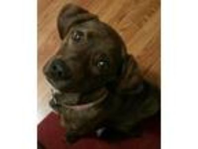 Adopt Marin a Brindle Plott Hound / Mixed dog in Indianapolis, IN (14999909)