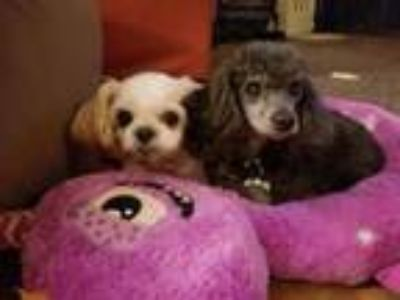 Adopt Mason and Belle a Poodle