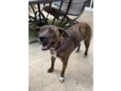 Adopt Clover a Brindle Belgian Shepherd / Mixed dog in Millersville