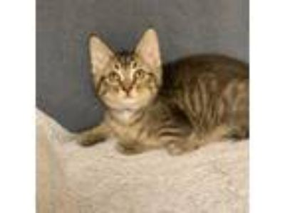 Adopt 'Spruce' a Brown or Chocolate Domestic Shorthair / Domestic Shorthair /