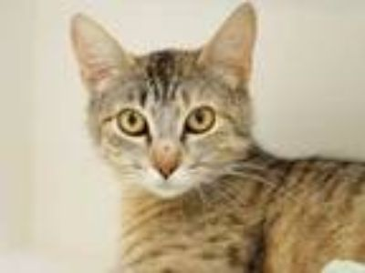 Adopt Marjorie a Tan or Fawn Domestic Shorthair / Domestic Shorthair / Mixed cat