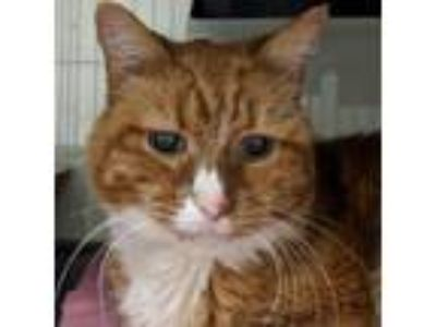 Adopt Kiwi a Orange or Red Domestic Shorthair cat in North Hollywood