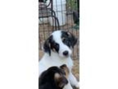 Adopt Puppy Clover a White - with Black Labrador Retriever / Mixed dog in