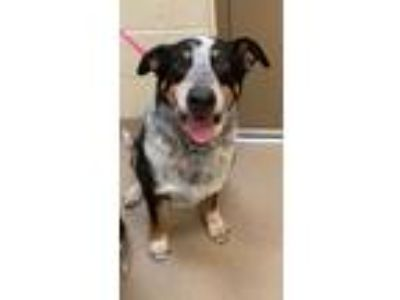 Adopt Dakota a Black Australian Cattle Dog / Shepherd (Unknown Type) / Mixed dog