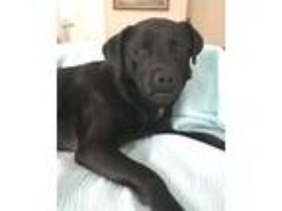 Adopt Annie a Black Labrador Retriever, Labrador Retriever
