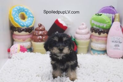 Morkie PUPPY FOR SALE ADN-104608 - Morkie  Riley  Male